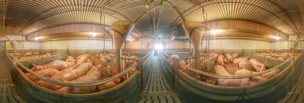 Blick in einen modernen Schweinemaststall